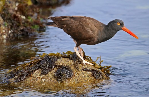 black-oystercatcher-2136073_1920